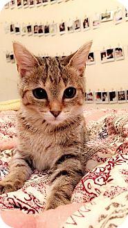 Domestic Mediumhair Cat for adoption in Washington, D.C. - Josephine (Has Application)