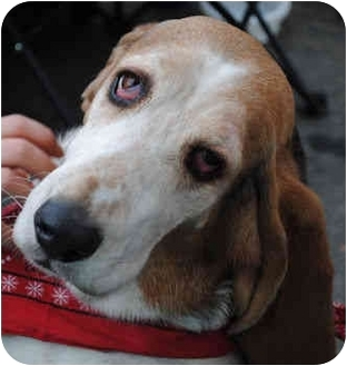 Basset Hound Dog for adoption in Phoenix, Arizona - Tess