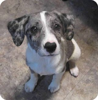 Australian Shepherd Mix Puppy for adoption in Copperas Cove, Texas - Tasha