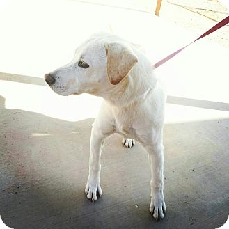 Labrador Retriever Mix Dog for adoption in Scottsdale, Arizona - Charlize