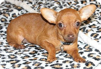 Chihuahua Puppy for adoption in Bellflower, California - Cashew