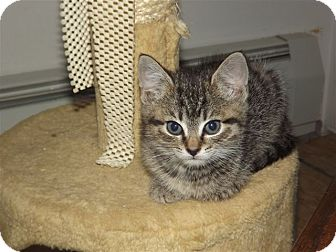 Domestic Shorthair Kitten for adoption in Trevose, Pennsylvania - Spice