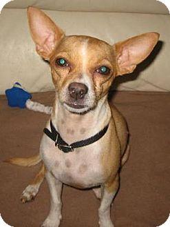 Chihuahua Mix Dog for adoption in Phoenix, Arizona - Andy