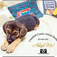 Adopt A Pet :: Puppy - La Follette, TN