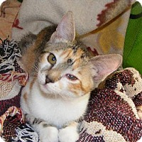 Adopt A Pet :: Cattywomp - Walnut Creek, CA