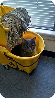 Domestic Shorthair Cat for adoption in Colorado Springs, Colorado - Sammy