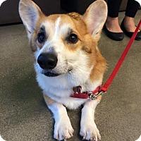 Adopt A Pet :: Simon - North Hollywood, CA
