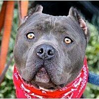 American Pit Bull Terrier/American Staffordshire Terrier Mix Dog for adoption in Santa Monica, California - Lennox