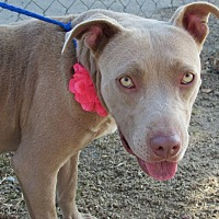 Pit Bull Terrier Mix Dog for adoption in eagle point, Oregon - Belle