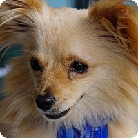 Adopt A Pet :: Santini - San Diego, CA