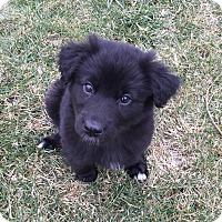 Adopt A Pet :: Sansa - Joliet, IL