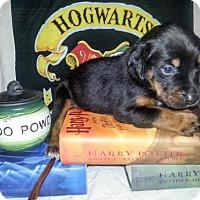 Adopt A Pet :: Zp litter - Neville - Livonia, MI