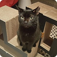 Domestic Shorthair Cat for adoption in New York, New York - Beer