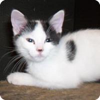 Domestic Mediumhair Kitten for adoption in Lacon, Illinois - Zeb