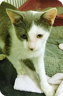 Domestic Shorthair Cat for adoption in Montgomery City, Missouri - Adee