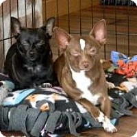 Chihuahua Dog for adoption in Mount Gretna, Pennsylvania - Ken