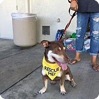 Adopt A Pet :: Dobie Foster - Los Angeles, CA