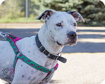 American Staffordshire Terrier Mix Dog for adoption in Grand Rapids, Michigan - Cricket