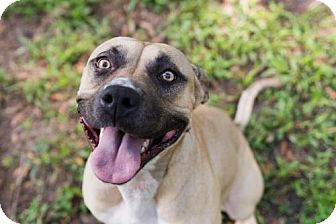 Black Mouth Cur/Staffordshire Bull Terrier Mix Dog for adoption in Elkton, Florida - Penny