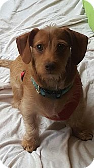 Dachshund/Yorkie, Yorkshire Terrier Mix Puppy for adoption in Mary Esther, Florida - Oliver