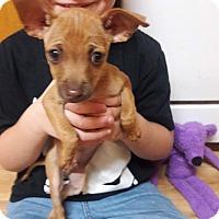 Adopt A Pet :: Dobby - Lacey, WA