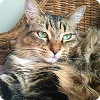 Maine Coon Cat for adoption in Sherman Oaks, California - Zoe