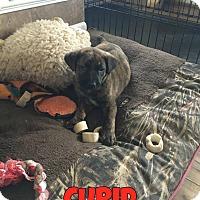 Adopt A Pet :: Cupid - Elgin, IL