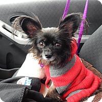 Adopt A Pet :: Pops - Sugar Grove, IL