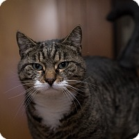 Adopt A Pet :: Tiger - Staten Island, NY