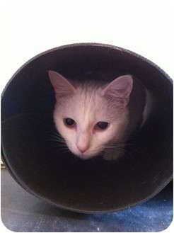 Domestic Shorthair Cat for adoption in Pittstown, New Jersey - Isabella