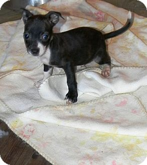 Dachshund/Chihuahua Mix Puppy for adoption in Vidor, Texas - Racer