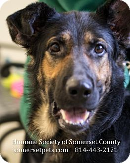 German Shepherd Dog Mix Dog for adoption in Somerset, Pennsylvania - Darlene