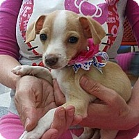 Adopt A Pet :: Teddy - Encinitas, CA