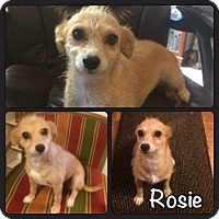 Adopt A Pet :: Rosie - El Campo, TX