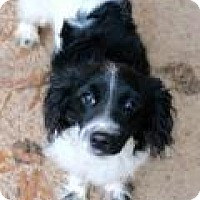Cavalier King Charles Spaniel Dog for adoption in Memphis, Tennessee - Sweater