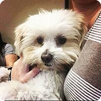 Adopt A Pet :: Melvin - Phoenix, AZ