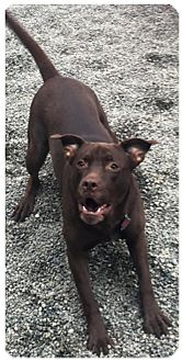 American Pit Bull Terrier Mix Dog for adoption in Anchorage, Alaska - Bailey