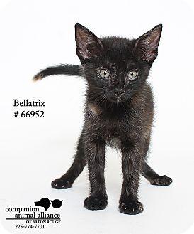 Domestic Shorthair Kitten for adoption in Baton Rouge, Louisiana - Bellatrix (Foster)