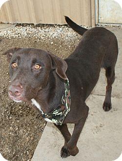 Labrador Retriever Mix Dog for adoption in Pilot Point, Texas - ZEUS