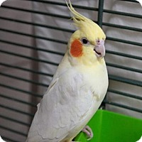 Adopt A Pet :: TWEETY - Boston, MA