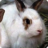 Adopt A Pet :: Fluffy Bunny - Palm Desert, CA