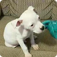 Adopt A Pet :: Yeti - Wichita Falls, TX