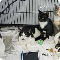 Domestic Shorthair Kitten for adoption in Merrifield, Virginia - Peanut