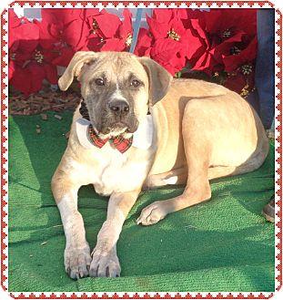 Hound (Unknown Type)/Retriever (Unknown Type) Mix Dog for adoption in Marietta, Georgia - BRADLEY