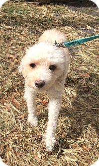 Poodle (Miniature) Mix Dog for adoption in Boca Raton, Florida - Jake
