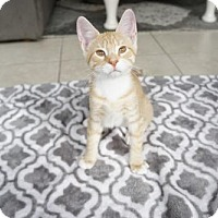 Domestic Shorthair Cat for adoption in Tampa, Florida - Cupid (5400)