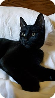 Domestic Shorthair Cat for adoption in Pottstown, Pennsylvania - Doodle