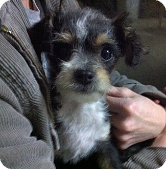 Border Terrier/Schnauzer (Miniature) Mix Puppy for adoption in Tracy, California - Jilian-ADOPTED!