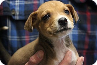 Boxer Mix Puppy for adoption in Boonsboro, Maryland - Tug
