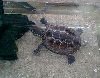 Turtle - Water for adoption in Baltimore, Maryland - Reeve's Turtle